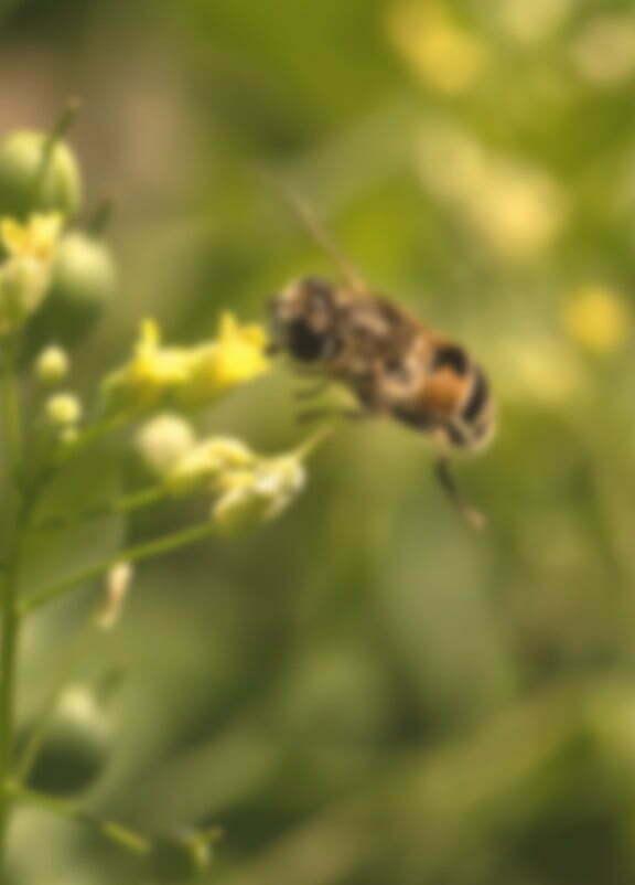 image-abeille