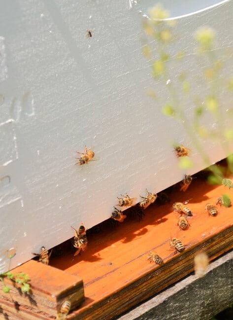 abeilles-ruche